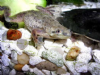 African Dwarf Frogs (Pack of 3)